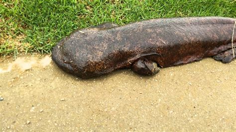 鴨川にオオサンショウウオ1 (Giant salamander in Kamo River, Kyoto Japan